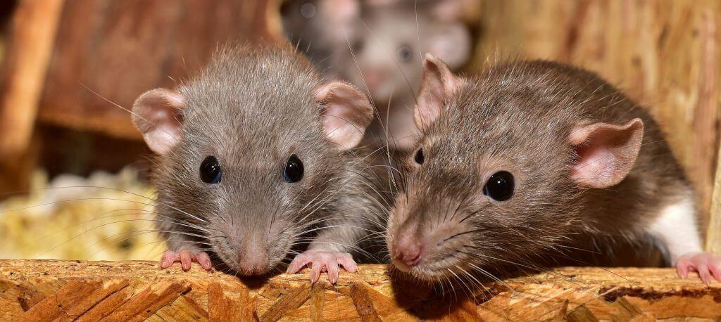 rottebekæmpelseskursus